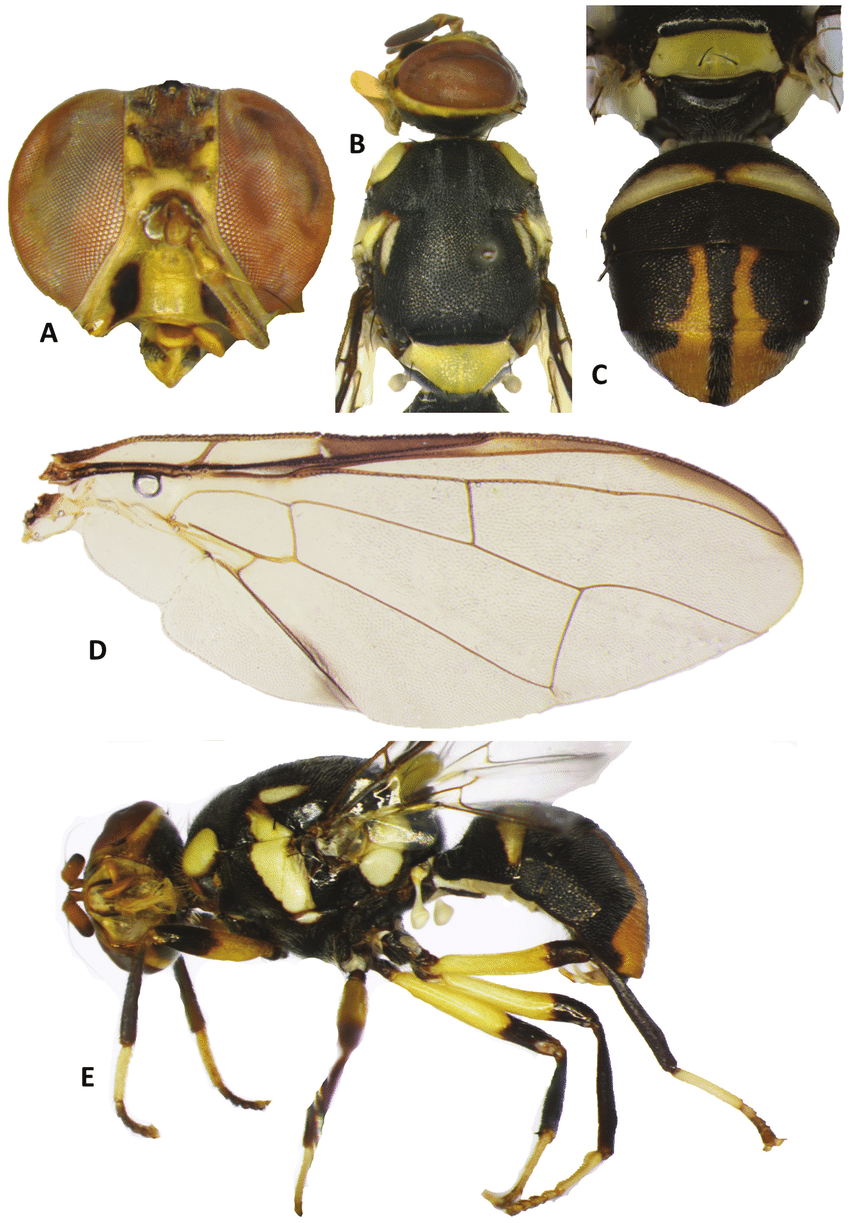 hight resolution of bactrocera hemigymnodacus pendleburyi a head b head and scutum c abdomen d wing