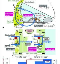 the electrochemical profile of the cochlea a the structure of the human [ 740 x 1383 Pixel ]