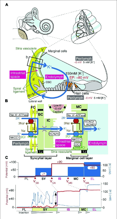 small resolution of the electrochemical profile of the cochlea a the structure of the human