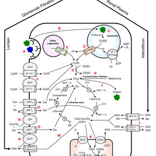 (PDF) The Role of Cystinosin in the Intermediary Thiol
