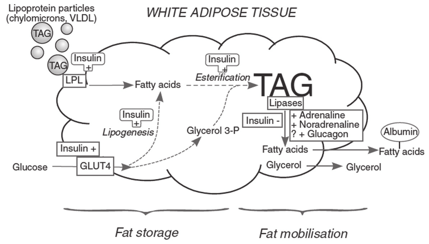 Overview of fatty acid and glucose metabolism in white