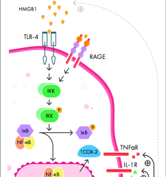 signaling pathways involved in peripheral initiation of inflammation download scientific diagram [ 736 x 1273 Pixel ]