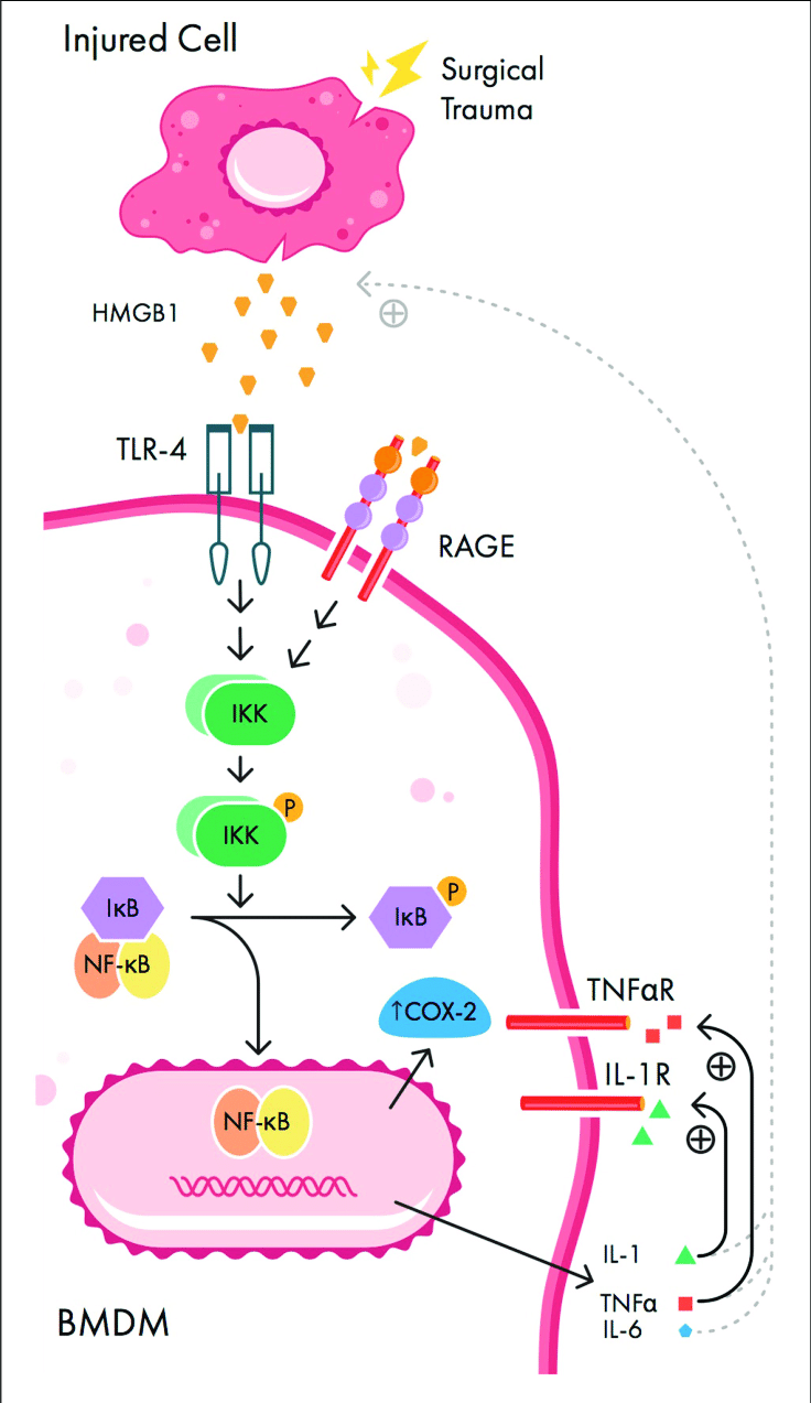 medium resolution of  signaling pathways involved in peripheral initiation of inflammation download scientific diagram