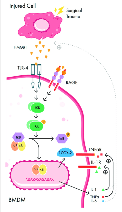 small resolution of  signaling pathways involved in peripheral initiation of inflammation download scientific diagram