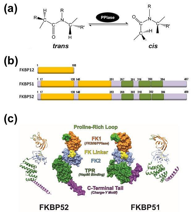 (a) Schematic representation of the peptidyl-prolyl isomerase... | Download Scientific Diagram