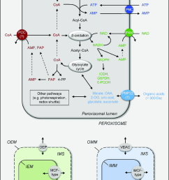 scheme of a plant cell presenting the known peroxisomal transporter and channel proteins connecting peroxisomal metabolism [ 850 x 1434 Pixel ]