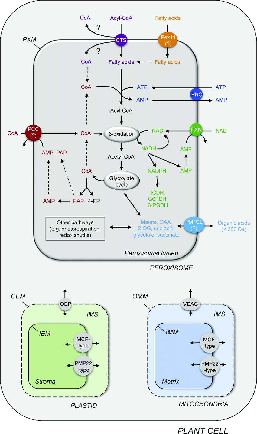 hight resolution of scheme of a plant cell presenting the known peroxisomal transporter and channel proteins connecting peroxisomal metabolism