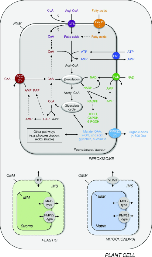 small resolution of scheme of a plant cell presenting the known peroxisomal transporter and channel proteins connecting peroxisomal metabolism