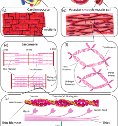 muscle contraction illustrated on different structural levels in the cardiovascular system tissue level heart [ 850 x 1265 Pixel ]
