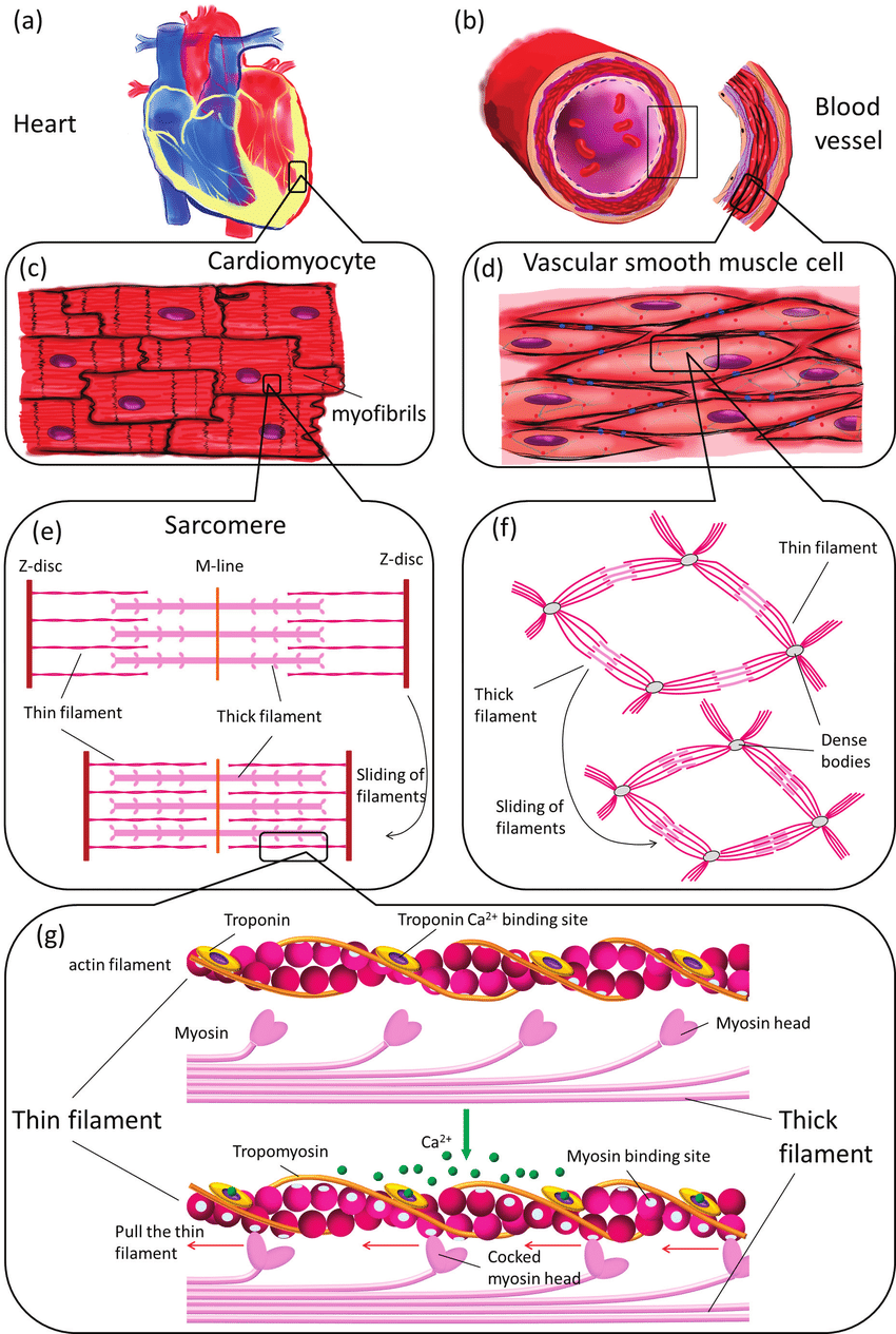 hight resolution of muscle contraction illustrated on different structural levels in the cardiovascular system tissue level heart