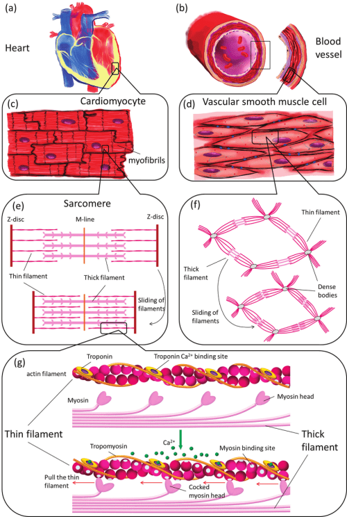 small resolution of muscle contraction illustrated on different structural levels in the cardiovascular system tissue level heart