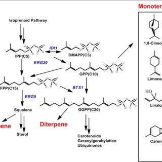 (PDF) Monoterpene production by the carotenogenic yeast