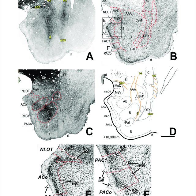 Myelo And Cytoarchitecture Of The Amygdaloid Complex Ac Level 1 Download Scientific Diagram