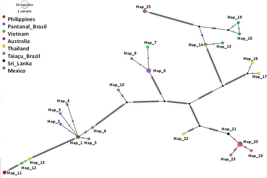 TCS network of haplotypes based on the Babesia bovis msa ...