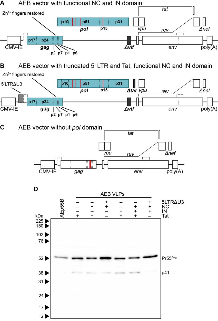 hight resolution of genetic organization and characterization of vlps expressing functional rna binding domains and rna packaging motifs a schematic representation of the