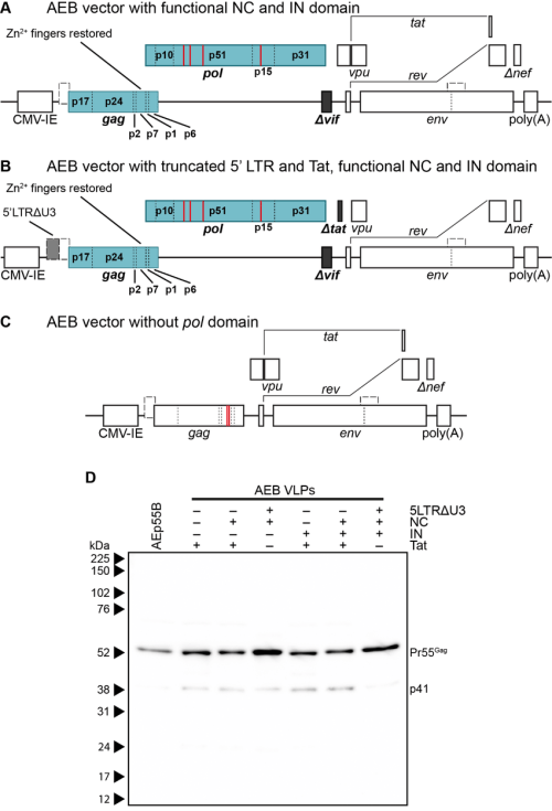 small resolution of genetic organization and characterization of vlps expressing functional rna binding domains and rna packaging motifs a schematic representation of the