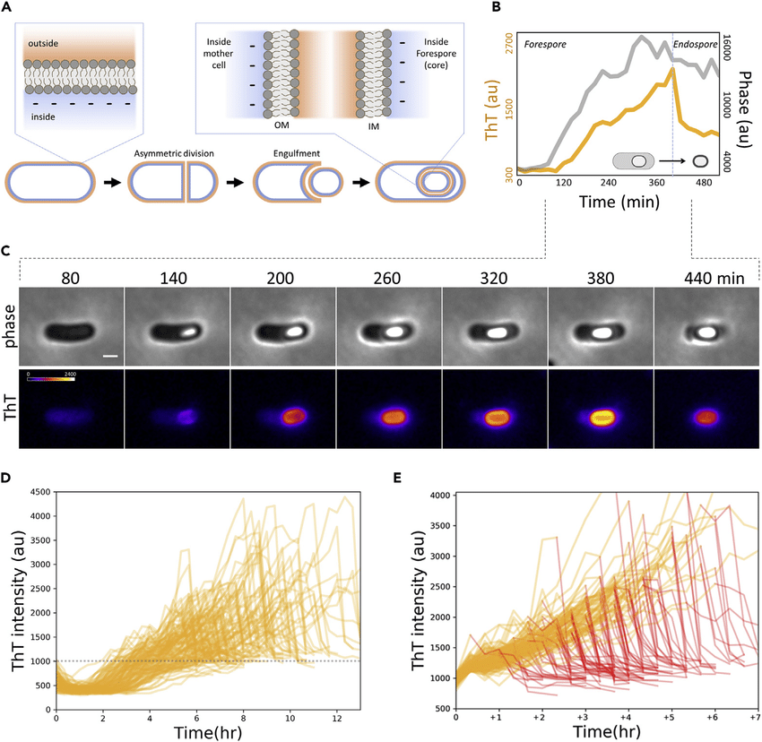 Single-cell Dynamics of a Cationic Dye Revealed a Gradual ...