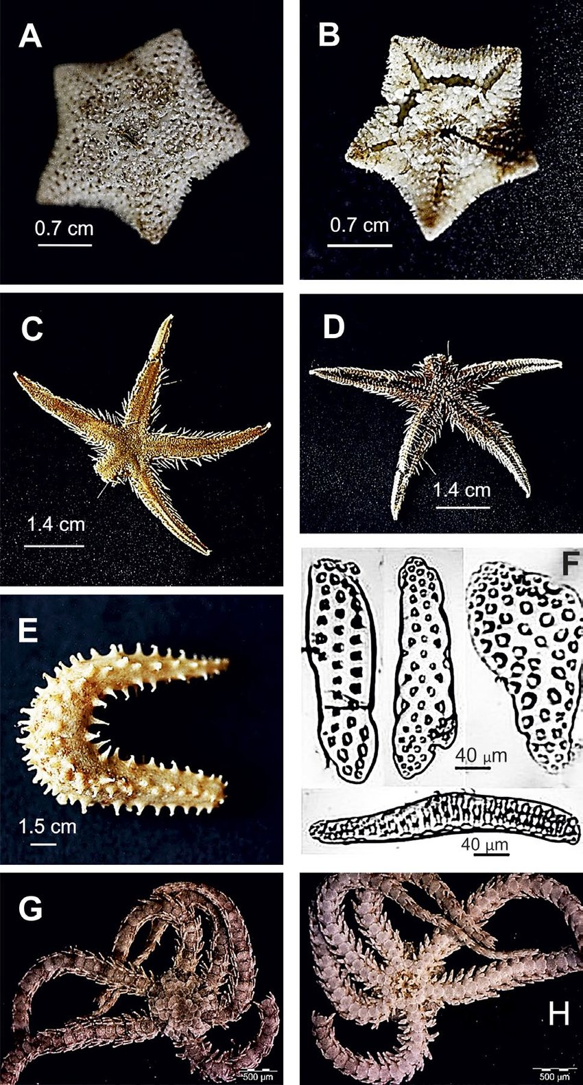 medium resolution of  asterina pancerii aboral view a and oral view b scale