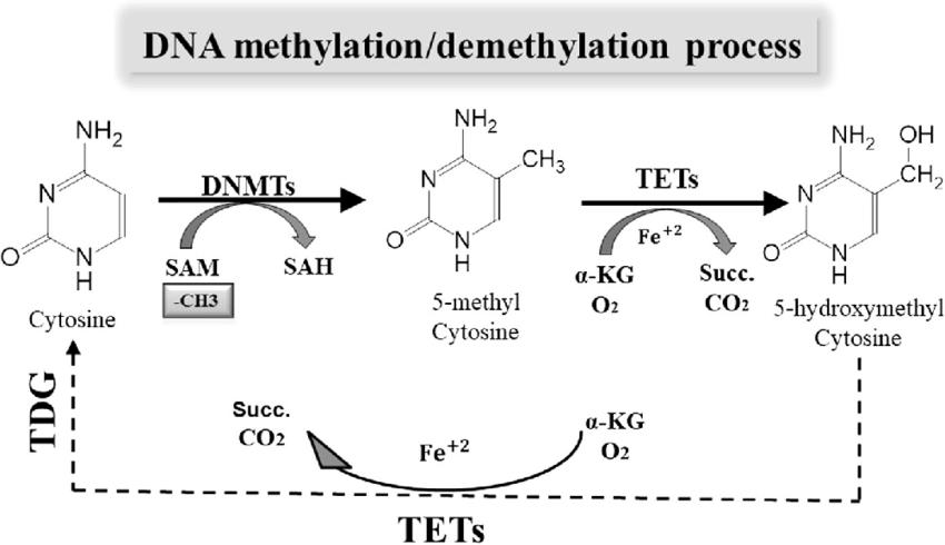 DNA methylation and demethylation process. DNA methylation