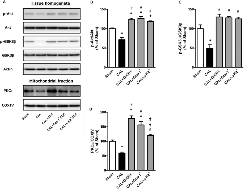 Effects of CrCDC, Sca-1 þ cell or c-Kit þ cell treatment