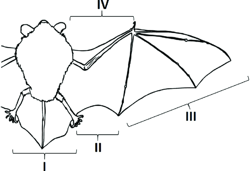 Division of the wing and the tail membrane applied in the