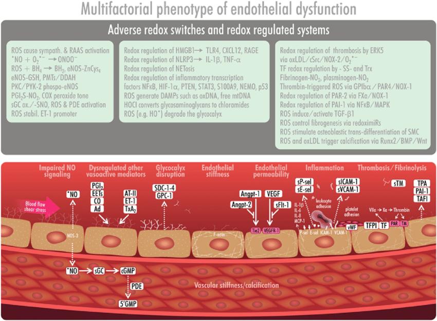 Endothelial dysfunction -a complex multifactorial ...