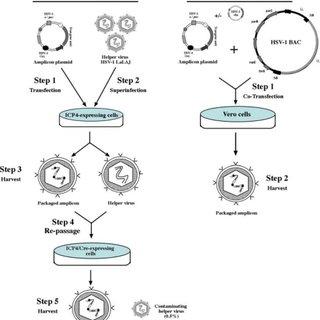 Schematic representation of the HSV-1 virion, its genomic