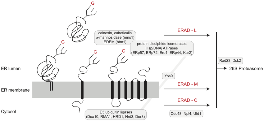 ER-associated degradation pathways. A schematic view of