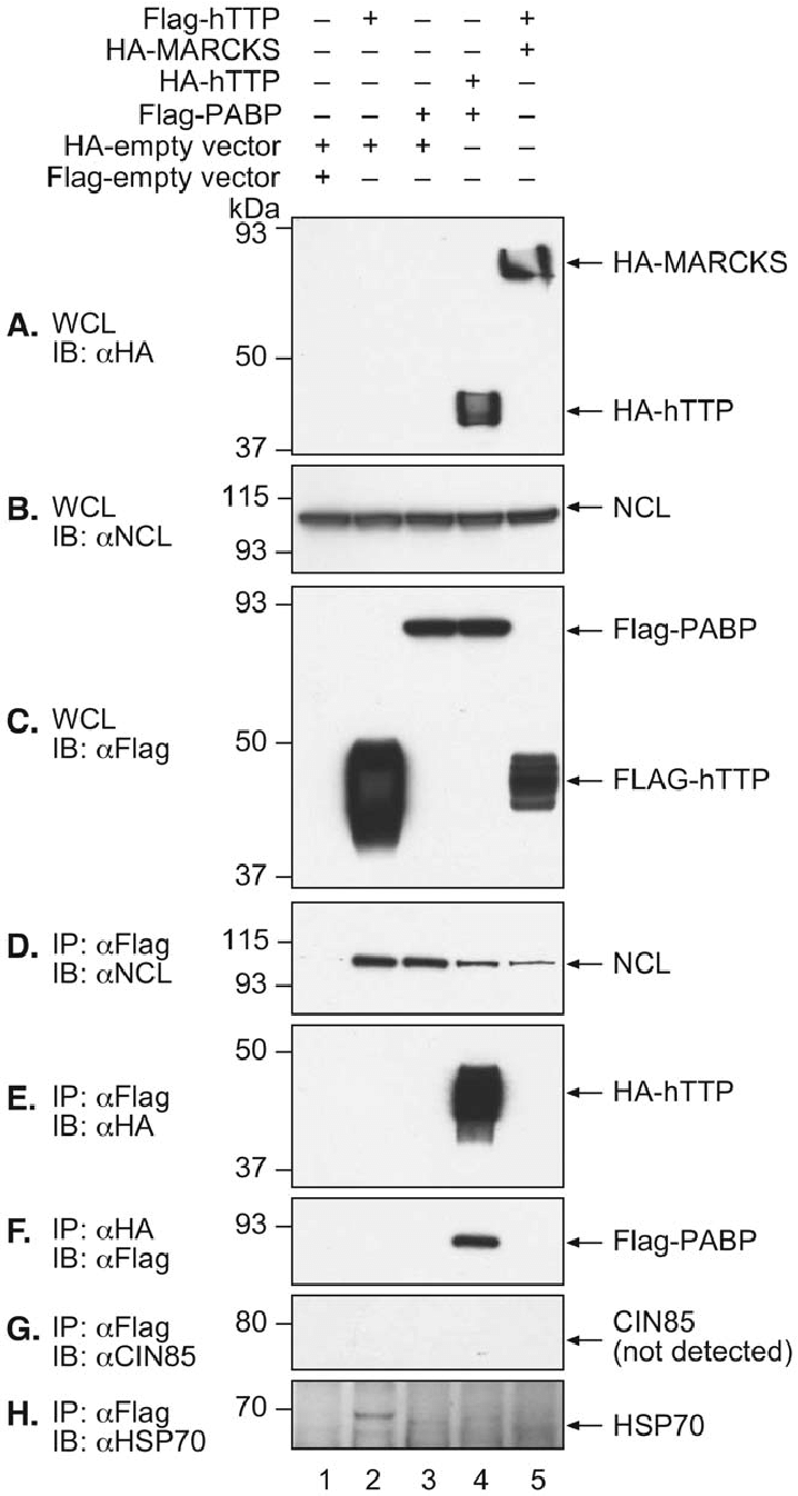 Co-immunoprecipitation of hTTP with potential interacting