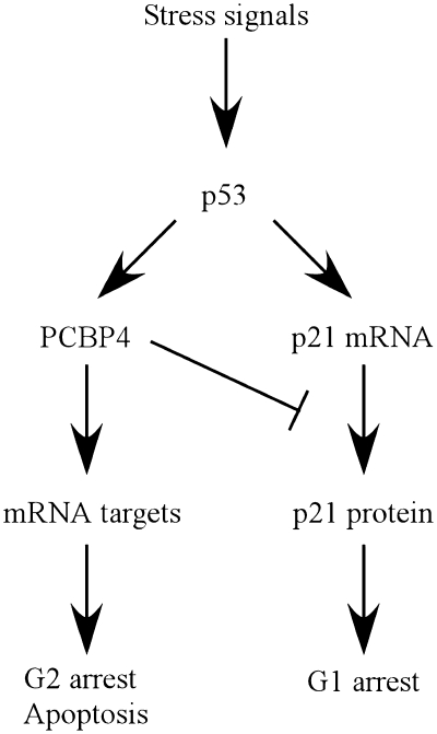 A model for the role of p21 regulation by PCBP4 in the p53
