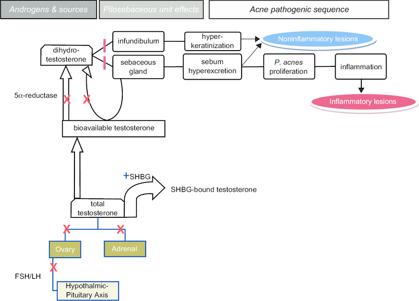 hormonal acne diagram honda motorcycle wiring androgens in pathogenesis and the countervailing effects of download scientific