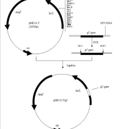 schematic diagram of gc gene cloned into the pmd18 t cloning vector  [ 850 x 983 Pixel ]