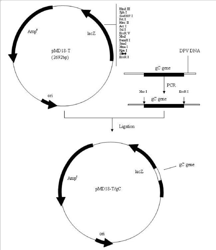 hight resolution of schematic diagram of gc gene cloned into the pmd18 t cloning vector