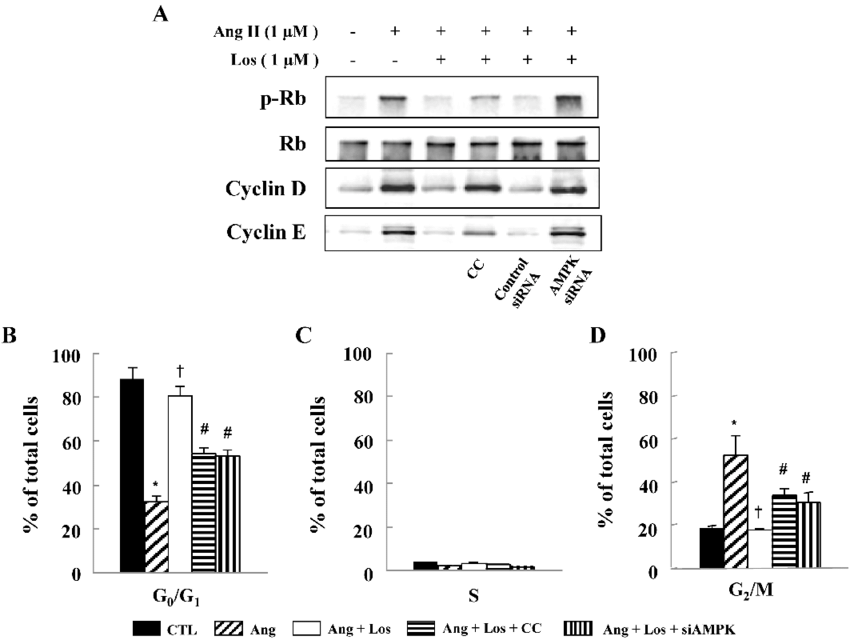 Losartan Inhibits Cell Cycle Progression via AMPK
