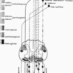Reticular Formation Diagram Free Electrical Wiring Diagrams Supraspinal Descending Pathways In Spinal Cord Rf