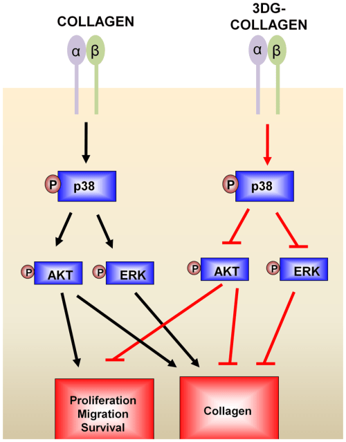 small resolution of diagram of p38 mapk regulation of wound healing on native collagen and 3dg collagen