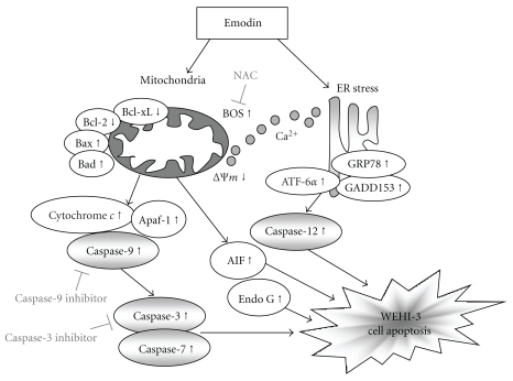 The proposed mechanisms of emodin-induced apoptosis in