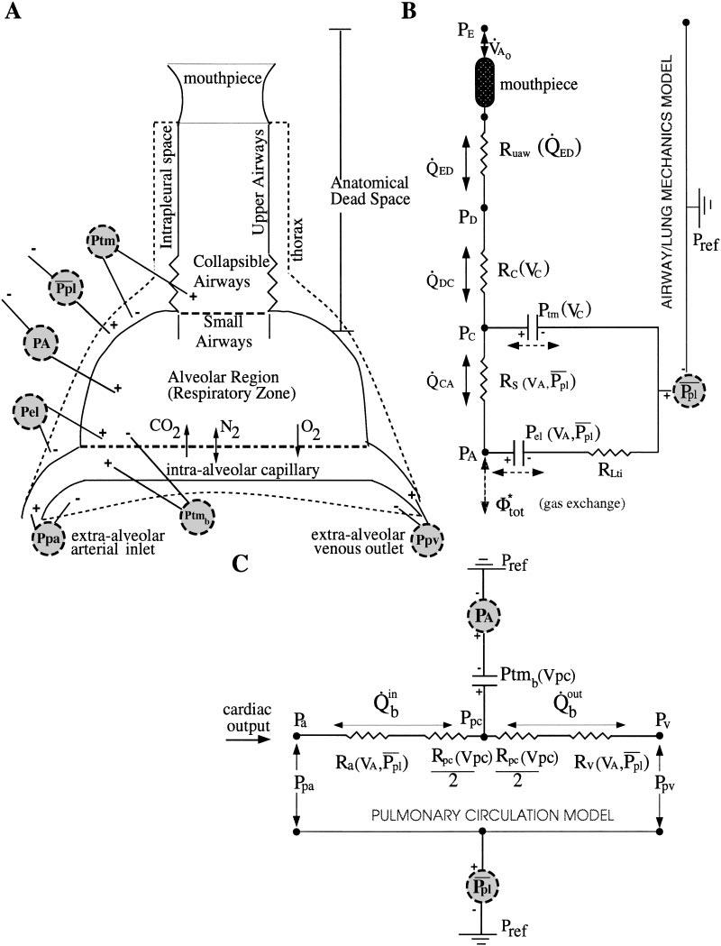 Schematic representation of airway/lung mechanics, gas