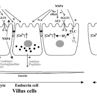 (PDF) How do the rotavirus NSP4 and bacterial enterotoxins