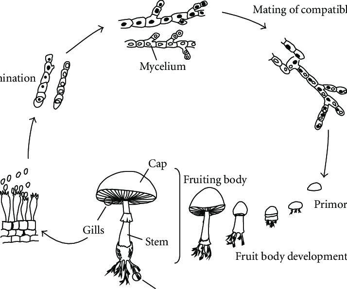 Diagrammatic representation of mushroom life cycle