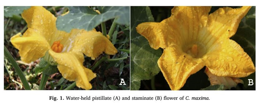 Sprinkler irrigation May Interfere with Pollination of Pumpkin Plants