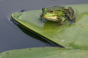 Grenouille verte © Jean-Guy COUTEAU