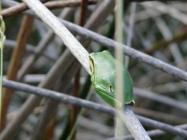 Une rainette arboricole (Hyla arborea)