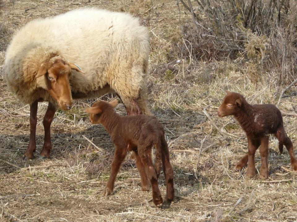 deux agneaux de 2010 nés à la Réserve