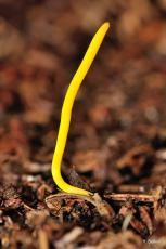 Clavulinopsis helvola © Y. Sellier
