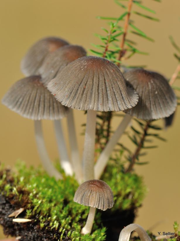 Coprinus angulatus © Y. Sellier