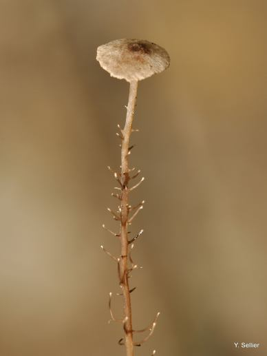 Dendrocollybia racemosa © Y. Sellier