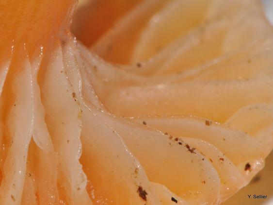 Hygrocybe laeta © Y. Sellier
