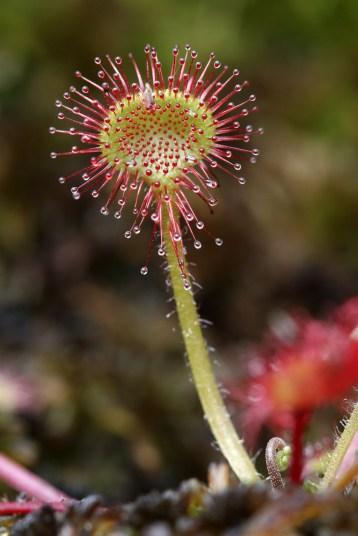 Rossolis à feuilles rondes (drosera rotundifolia) © L. Bourdin