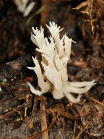 Clavulina coralloides © Y. Sellier
